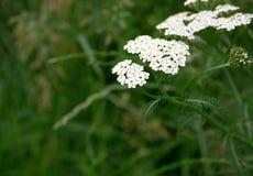 Plan rapproché des fleurs de millefeuille Image stock