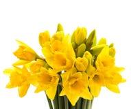 Plan rapproché des fleurs de narcisse d'isolement sur le blanc Image libre de droits