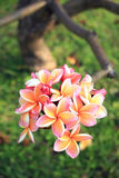 Plan rapproché des fleurs de plumeria photos stock