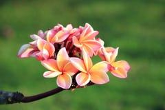 Plan rapproché des fleurs de plumeria photo stock
