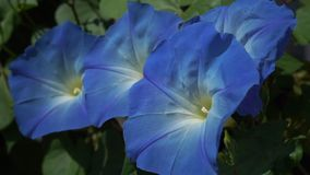 Plan rapproché des fleurs de soufflement de brise du grimpeur pourpre de gloire de matin clips vidéos