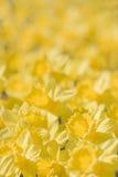 Plan rapproché des fleurs jaunes images stock