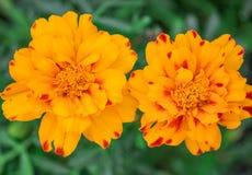 Plan rapproché des fleurs jaunes de souci photographie stock