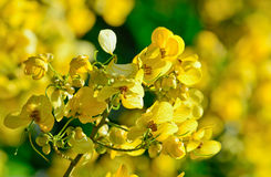 Plan rapproché des fleurs jaunes sur l'arbre (fuite de siamea de séné) Image libre de droits