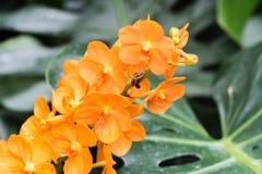 Plan rapproché des fleurs oranges d'orchidée en serre chaude Photos libres de droits