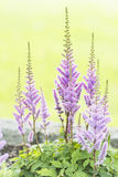 Plan rapproché des fleurs pourprées dans le jardin à l'été Photo stock