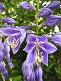 Plan rapproché des fleurs pourpres de delphinium images libres de droits