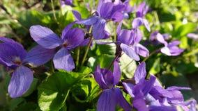 Plan rapproché des fleurs pourpres de ressort Image stock