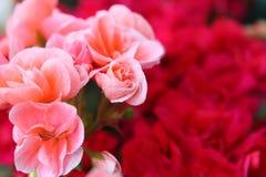 Plan rapproché des fleurs roses Photo stock