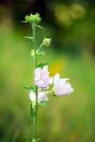 Plan rapproché des fleurs roses de rose trémière Images stock