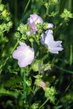 Plan rapproché des fleurs roses de rose trémière Photos libres de droits