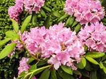 Plan rapproché des fleurs roses foncées de rhododendrons parmi les feuilles vertes Photos stock
