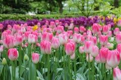 Plan rapproché des fleurs roses variées de tulipe images stock
