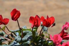 Plan rapproché des fleurs rouges de cyclamen, nature, macro images libres de droits