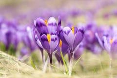 Plan rapproché des fleurs sauvages de safran Photo libre de droits