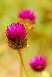 Plan rapproché des fleurs tropicales roses dans le pré Image stock