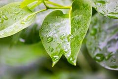 Plan rapproché des gouttes de pluie sur des feuilles Images stock