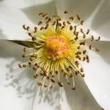 Plan rapproché des graines de fleur blanche Photo stock