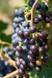 Plan rapproché des groupes de raisins mûrs de vin rouge sur la vigne, foyer sélectif photographie stock