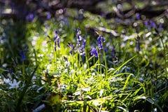 Plan rapproché des jacinthes des bois dans Tranendal (vallée de larme) en bois de Hallerbos Images stock