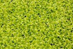 Plan rapproché des jeunes plantes de laitue Image libre de droits