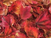 Plan rapproché des lames brillantes d'érable rouge Image stock