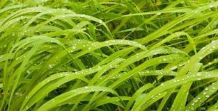 Plan rapproché des lames de l'herbe avec la rosée photographie stock libre de droits
