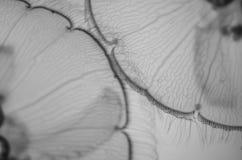 Plan rapproché des méduses Image libre de droits