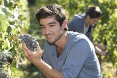 Plan rapproché des moissonneuses prenant des raisins Photos libres de droits