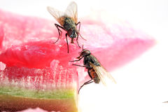 Plan rapproché des mouches Photographie stock libre de droits