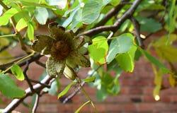 Plan rapproché des noix de maturation sur l'arbre images libres de droits