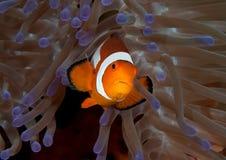 Plan rapproché des ocellaris d'un Aphiprion de clownfish d'ocellaris nageant parmi les tentacules venimeuses photographie stock libre de droits