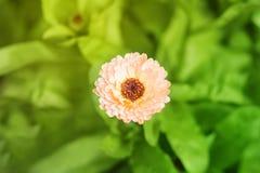 Plan rapproché des officinalis oranges de calendula mis en pot, ordinaire, jardin, l'anglais, écossais, Mexicain, Aztèque, soucis image libre de droits