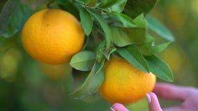 Plan rapproché des oranges savoureuses juteuses accrochant sur un arbre orange La femelle plume à la main des oranges en gros pla clips vidéos