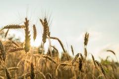 Plan rapproché des oreilles d'or mûres de blé photo libre de droits