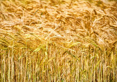 Plan rapproché des oreilles du blé d'or Images libres de droits