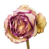 Plan rapproché des pétales de rose roses et jaunes défraîchis et secs Photos libres de droits