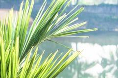 Plan rapproché des palmettes de noix de coco contre la surface de l'eau photos stock