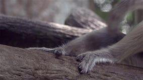 Plan rapproché des pieds du singe de buse - rayant le plan rapproché - 4k banque de vidéos