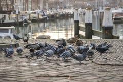 Plan rapproché des pigeons et des canards Photos libres de droits