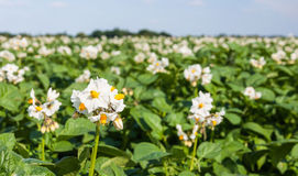 Plan rapproché des plantes de pomme de terre de floraison Images libres de droits