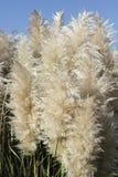 Plan rapproché des plumes grandes d'herbe des pampas Photos libres de droits
