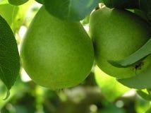 Plan rapproché des poires Photographie stock