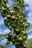 Plan rapproché des poires environ à cultiver  Photographie stock libre de droits