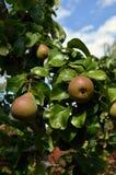 Plan rapproché des poires environ à cultiver  Images stock