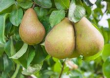 Plan rapproché des poires savoureuses s'arrêtant sur un arbre Photographie stock libre de droits