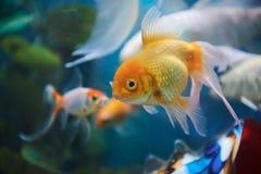 Plan rapproché des poissons d'or Image libre de droits