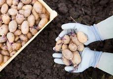 Plan rapproché des pommes de terre de germination dans les mains d'agricultrice Image stock