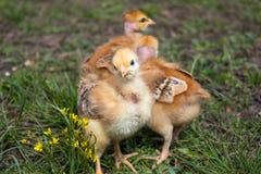 Plan rapproché des poulets jaunes sur l'herbe, beaux petits poulets jaunes photographie stock
