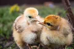 Plan rapproché des poulets jaunes sur l'herbe, petits poulets jaunes, un groupe de poulets jaunes Aviculture image libre de droits